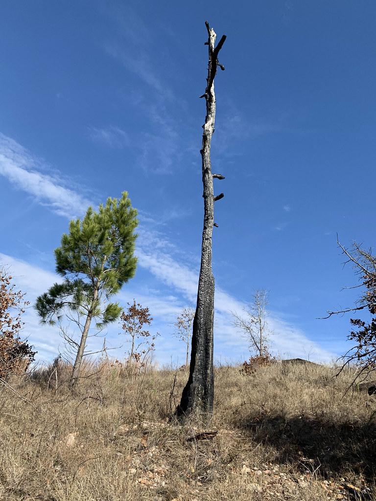 Burned Loblolly Pine
