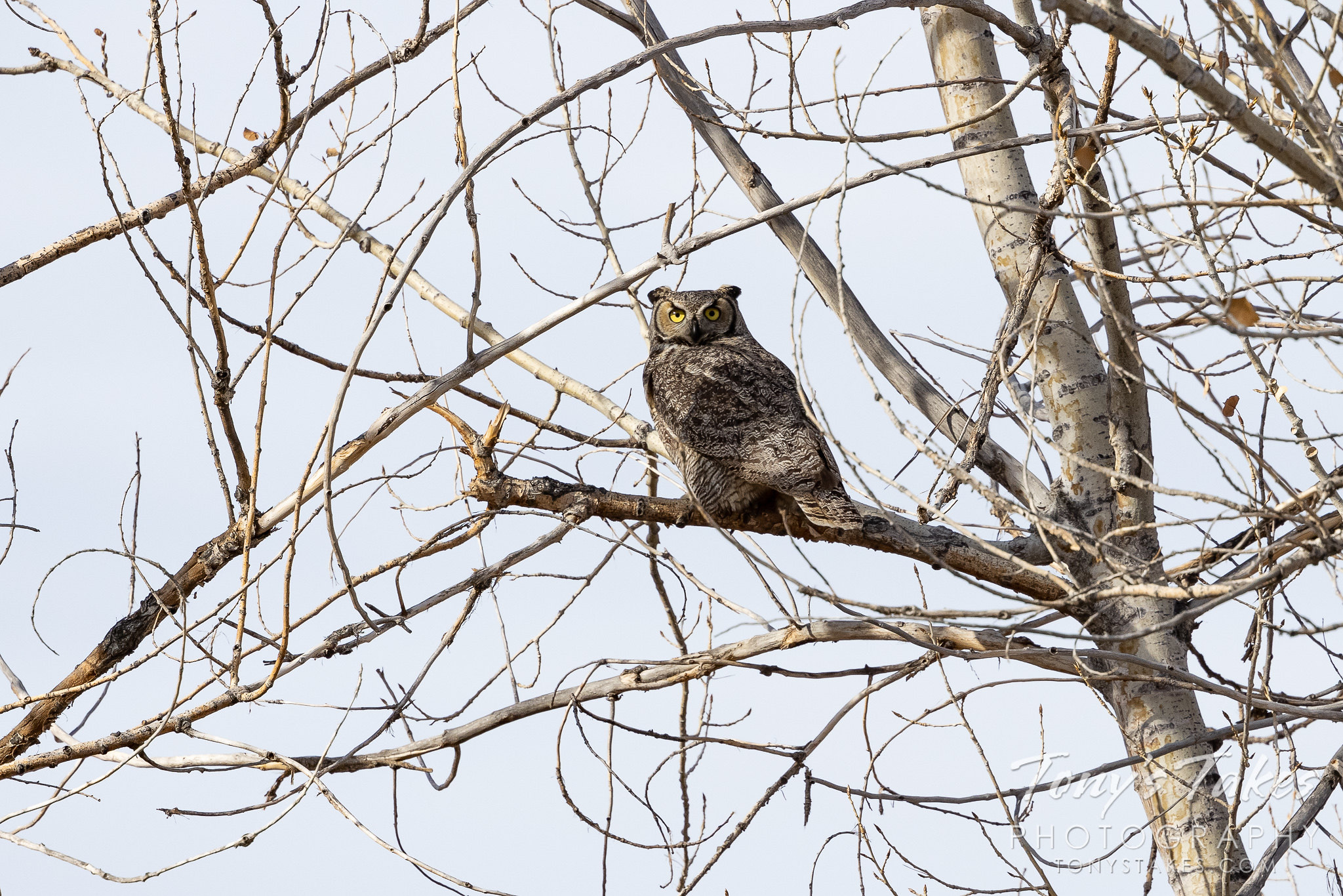 Great horned owl debates the best place to hide
