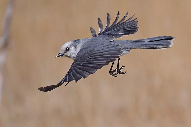 Canada Jay (Perisoreus canadensis)