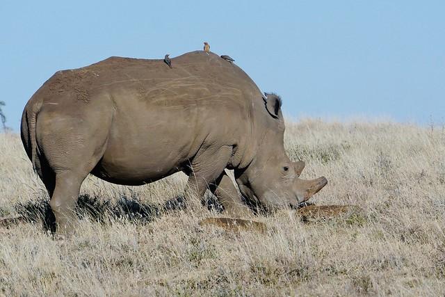 White Rhinocerus (Ceratotherium simum)