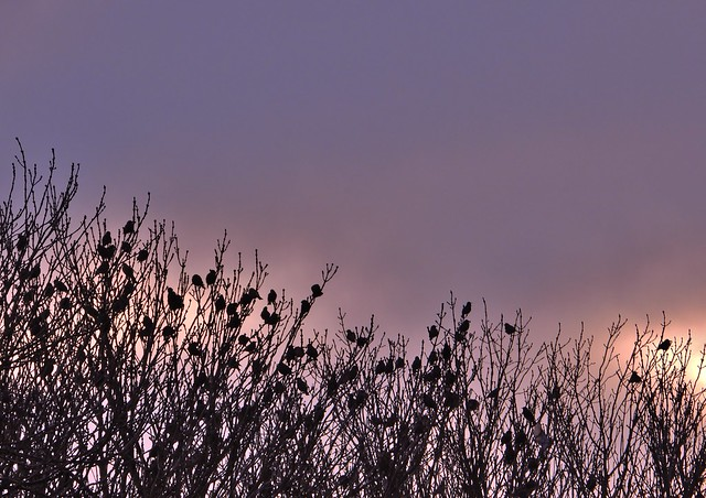 flock of starlings and sunset