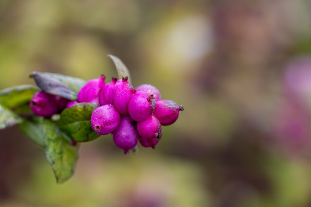 Berlin, Gärten der Welt: Rosa Schneebeeren im Winter - Berlin, Gardens of the World: Pink snowberries in winter