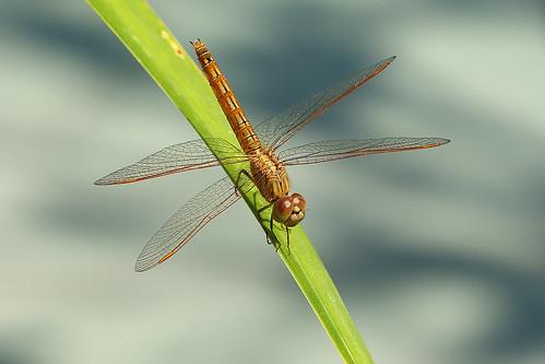 Dragonfly,   Immature Scarlet Skimmer