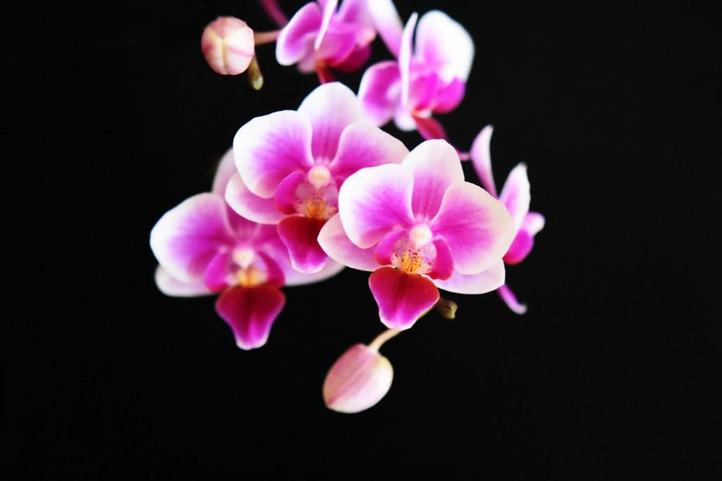 Orchideenblüten 10