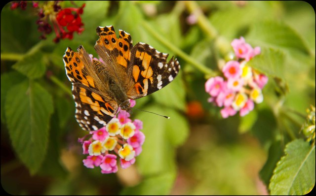 The Beautiful Painted Lady