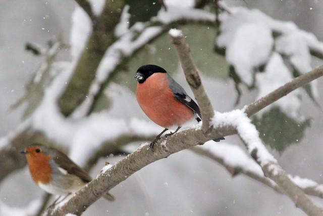 Birds in the snow (5 of 6)