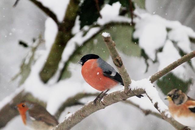 Birds in the snow (3 of 6)