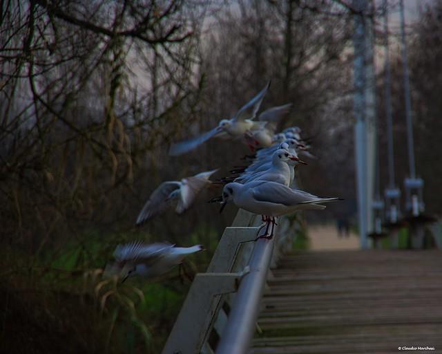 IMGP6999 Seagulls