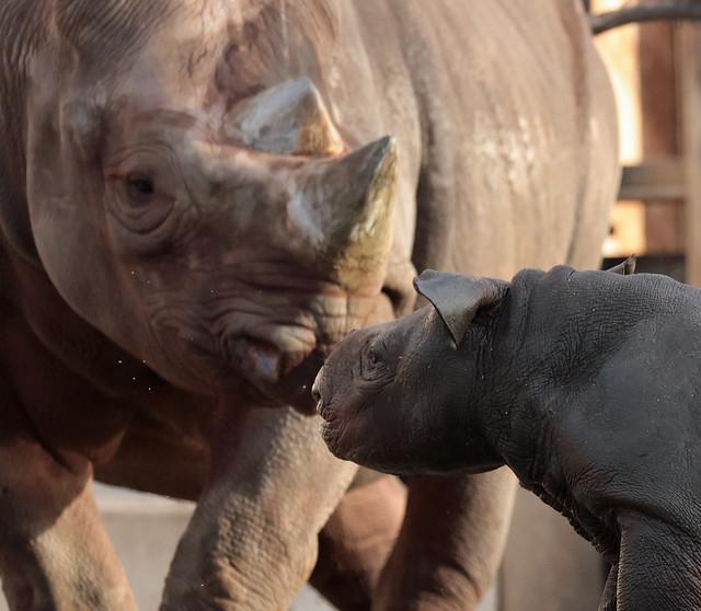 Black Rhino Naima and Nasor Blijdorp 9K2A5521