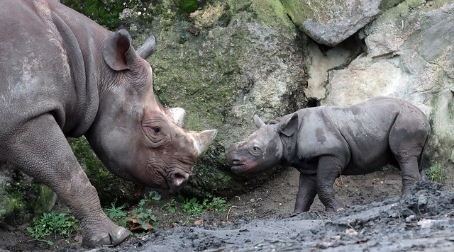 Black Rhino Naima and Nasor Blijdorp 9K2A5927