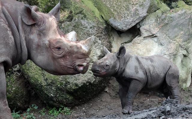 Black Rhino Naima and Nasor Blijdorp 9K2A5929