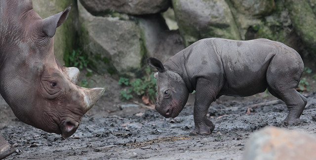 Black Rhino Naima and Nasor Blijdorp 9K2A6013