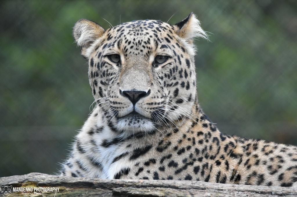 North persian leopard - Safaripark Beekse Bergen