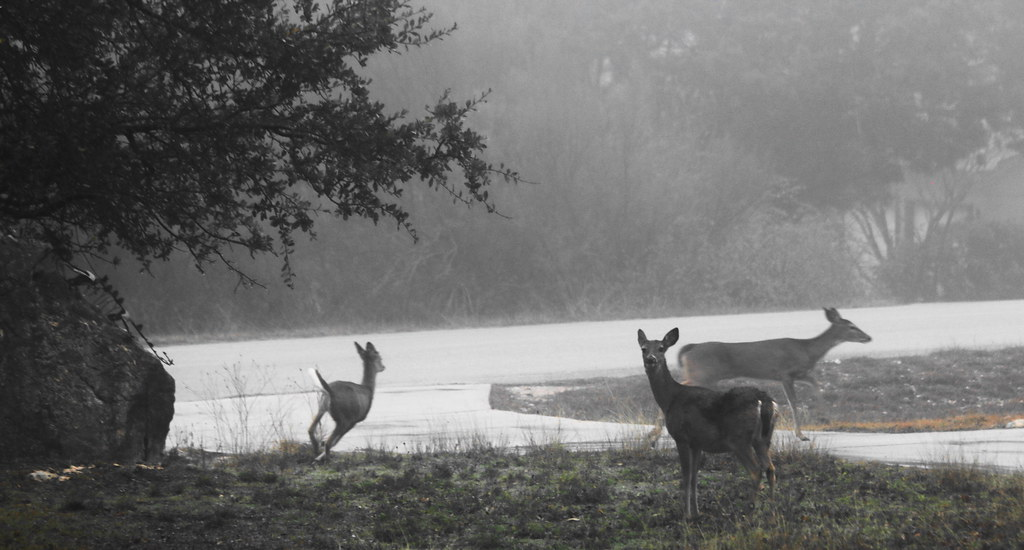 Misty Morning Deer