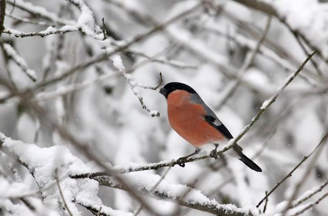 Birds in the snow (1 of 6)