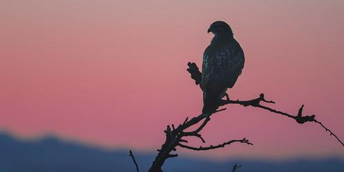 hawk redtailedhak silhouette sunset sundown sky mountains delta ladner bc telephoto contrast shadows nikonz7