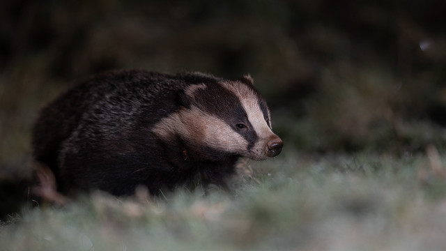Badger on frosty grass