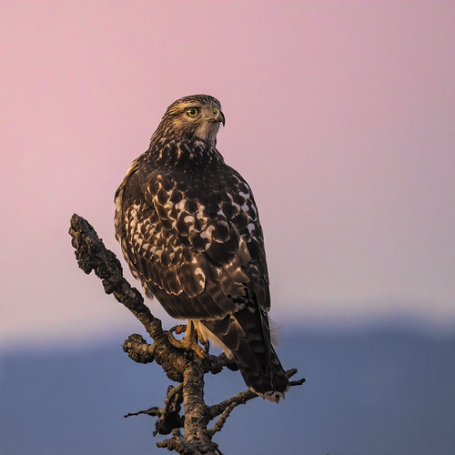 hawk raptor redtailhawk bird wildlife vancouver delta ladner branch alert tree sunset telephoto nikonz7