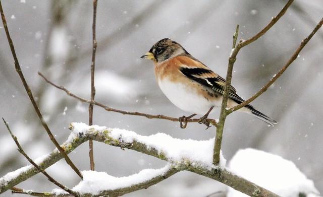 Birds in the snow (6 of 6) Brambling