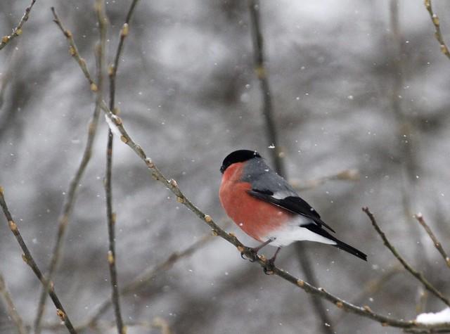 Birds in the snow (2 of 6)