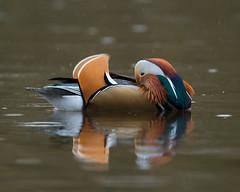 Decadence Duck