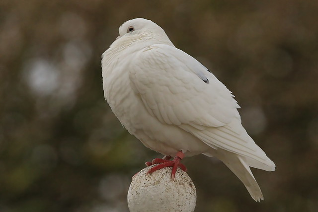 Dove on top of Dovecote at the People's Memorial, Portsmouth