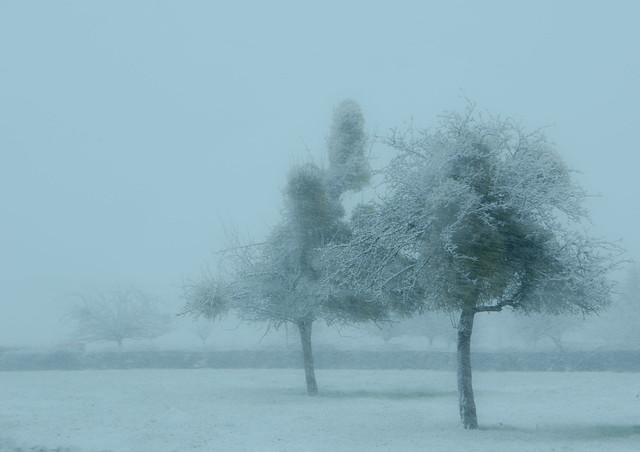 pomme de neige-snow apple