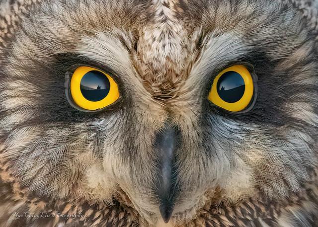 In the eyes - Short-Eared Owl