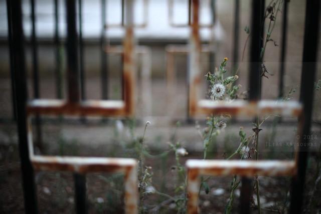 En-graved dandelions
