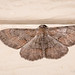 Small Purplish Gray Moth (Iridopsis humaria)