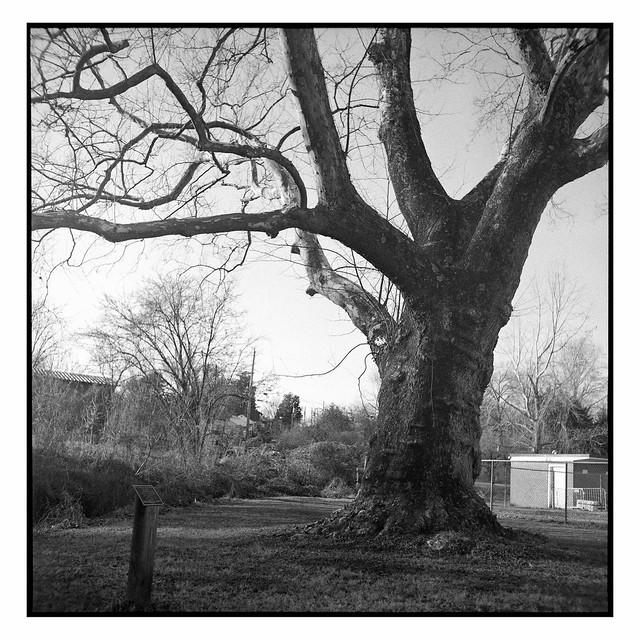 Sycamore at Quarry Park