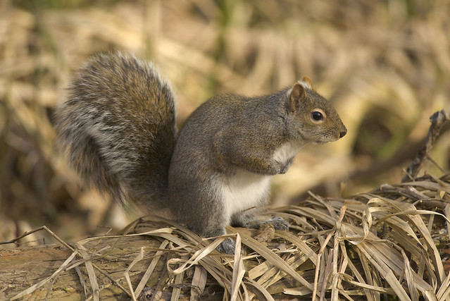 American Red Squirrel | Forest Forage