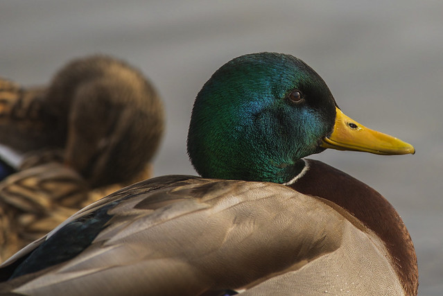 Mallard Duck | Green Iridescence