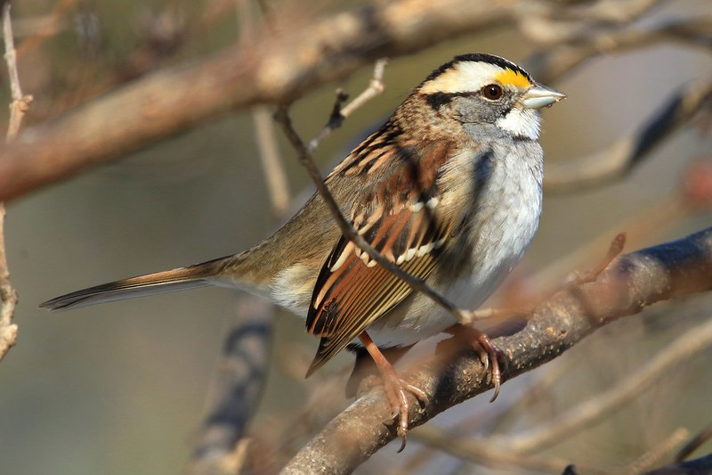 white-throated sparrow at Lake Meyer Park IA 653A9979