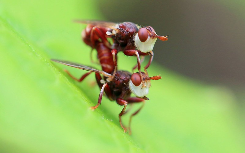 thick-headed flies (Myopa clausa) mating at Chimney Rock Park IA 653A3726