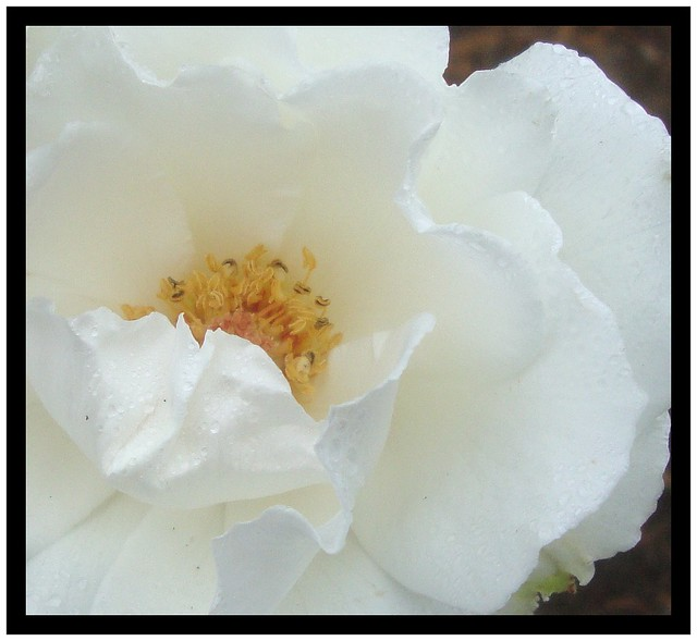 Rose Of Remembrance. Open for poem