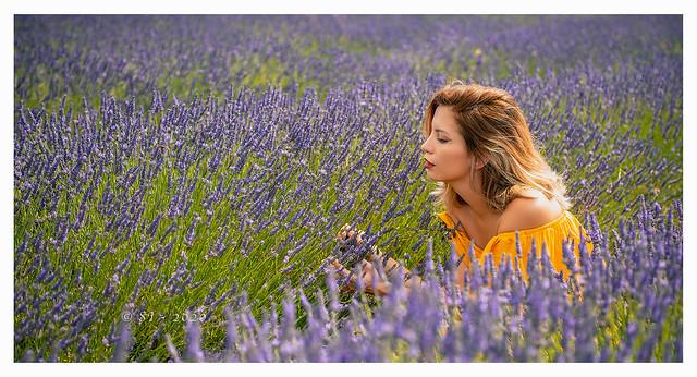 Lavender_Fields_England