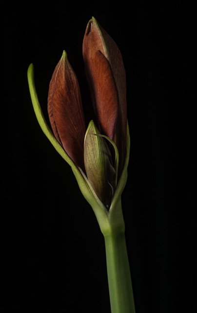 Budding Amaryllis In The Light