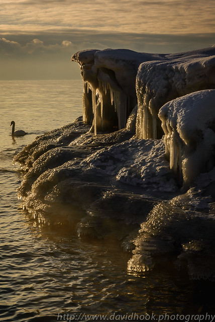 Swan and Icicles