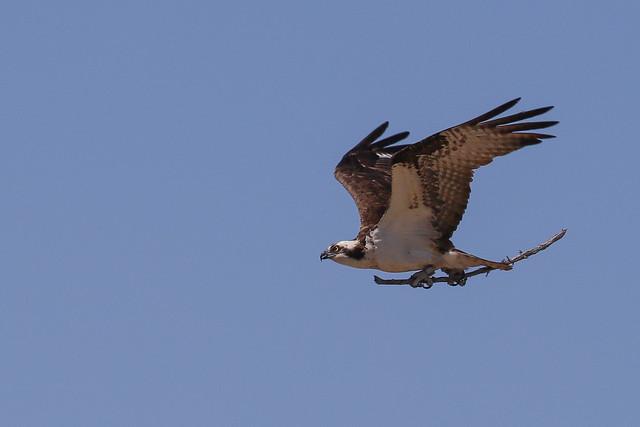 Osprey with nest supplies2