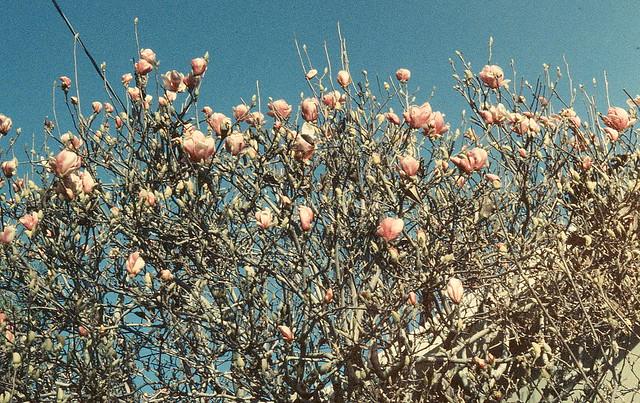 Japanese magnolia in bloom (Berkeley, Calif.)