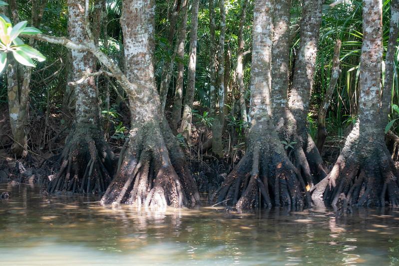 西表島のマングローブ林をカヤック