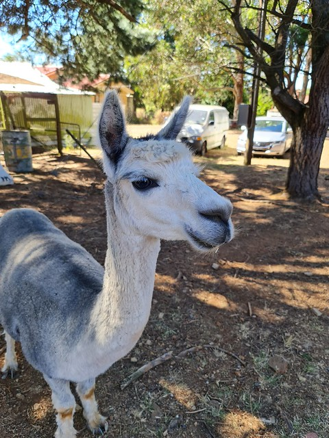 Cute adult Alpaca at a farm, Crookwell, New South Wales, Australia. Please see video at next post