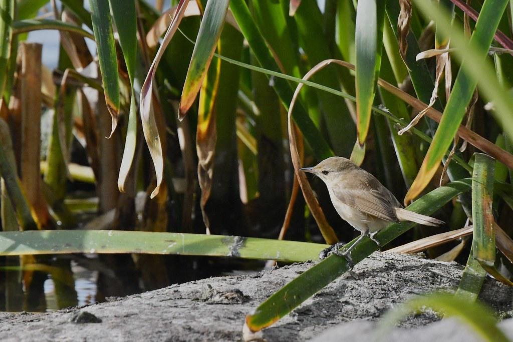 Reed- Warbler