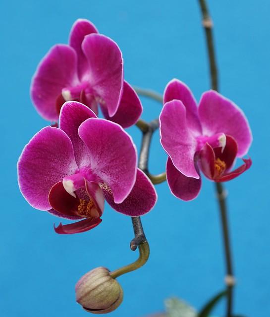 Mini Purple Phalaenopsis at home.