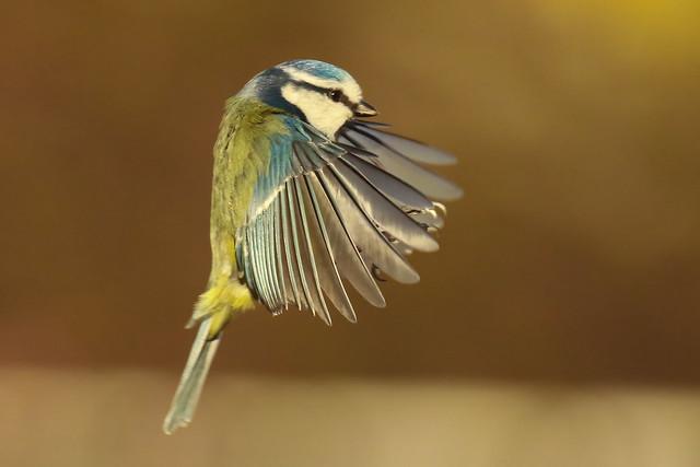 Blue Tit Hovering.