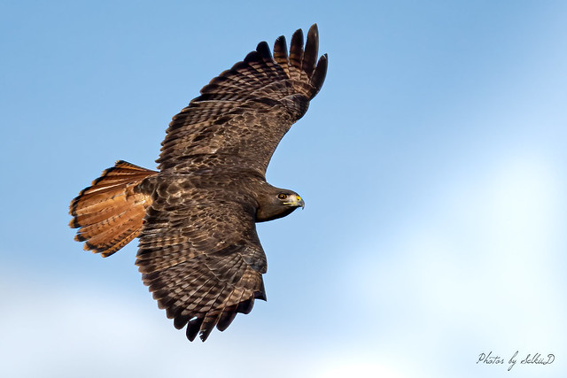 Dark-morph, Red-tailed Hawk