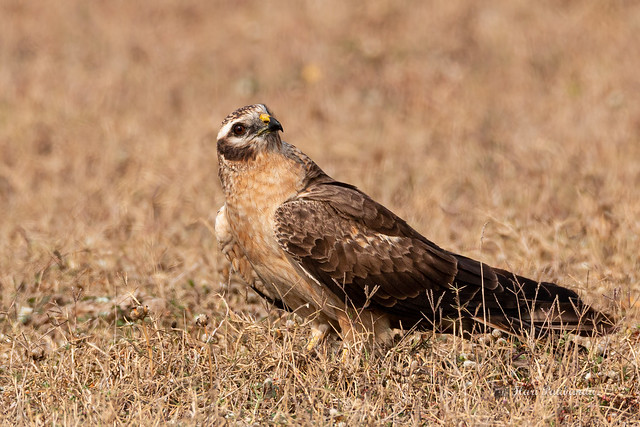 A Montagu's Harrier after a quick meal