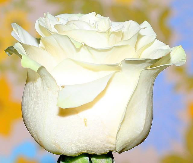 Perpignan rose flower