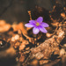 tomageorgian40 posted a photo:Print Photography Purple Forest Flower